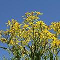 Asteraceae sp.-IMG 5576.jpg