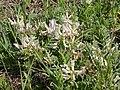Astragalus crassicarpus (5257781877).jpg