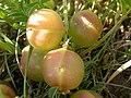 Astragalus crassicarpus (5258391766).jpg