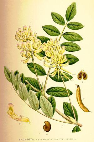 Astragalus glycyphyllus.jpg