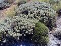 Astragalus granatensis Habitus.jpg