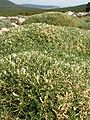 Astragalus terracianoi Belvedere Isola Piana 4.jpg