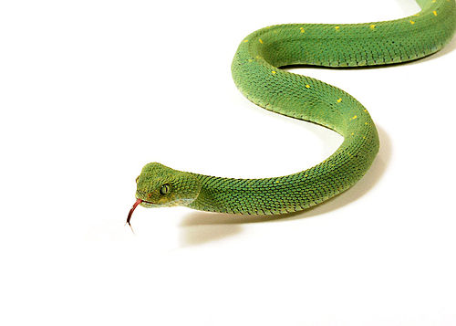 500px atheris chloroechis vipere des buissons 31