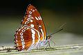 Athyma asura baelia ventral view 20140830.jpg