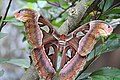 Atlas moth from patolla 03.jpg