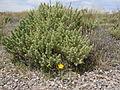 Atriplex confertifolia (5063217522).jpg