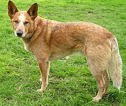 Australian Cattle Dog Breed of Herding Dogs