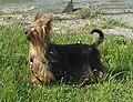 Australian-Silky-Terrier-Alana.JPG