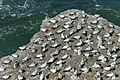 Australian Gannet colony - Muriwai - New Zealand (25288186628).jpg