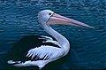 Australian Pelican (Pelecanus conspicillatus) (9822750453).jpg