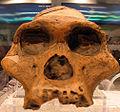Australopithecus africanus STS, Mrs.jpg