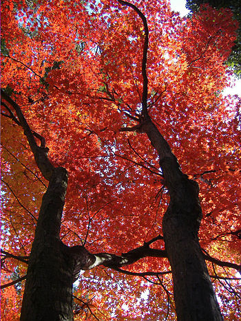Autumn leaf color in Shinnyo-do, Kyoto, Japan
