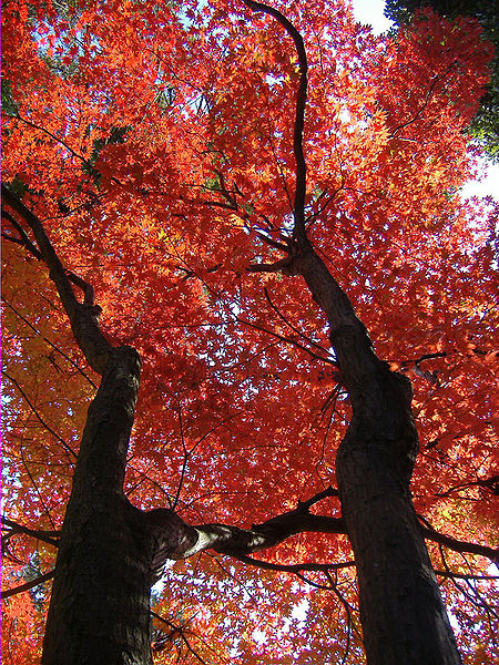 Şəkil:Autumn leaf color.jpg