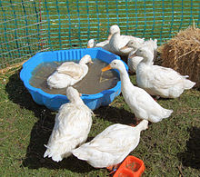 Pato wikipedia la enciclopedia libre for Imagenes de estanques para patos