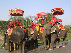 The Asian Elephant, Elephas maximus is the nat...