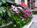 Azalea Blooming in Time Square Building Plaza Parterre.jpg