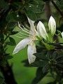Azalea blanca (Rhododendron (prob. obtusum)) - Flickr - Alejandro Bayer.jpg