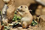 Baby Prairie Dog - Cotswold Wildlife Park (29225454505).jpg