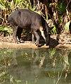 Bairds-Tapir-Belize-Zoo-2010.jpg