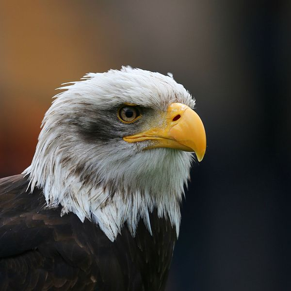 File:Bald Eagle Head sq.jpg