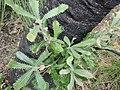 Banksia serrata P5270220.jpg