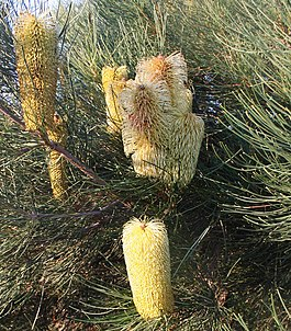 Banksia tricuspis 2 Wanneroo email.jpg