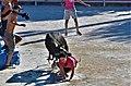 Barbentane, course de vachettes emboulées dans le taureau piscine pendant la Vote du village.jpg