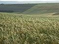 Barley, Aldworth - geograph.org.uk - 476487.jpg
