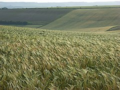 Barley, Aldworth - geograph.org.uk - 476487.jpg
