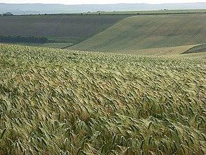 Aldworth - Image: Barley, Aldworth geograph.org.uk 476487