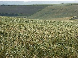 Aldworth - Image: Barley, Aldworth geograph.org.uk 476487