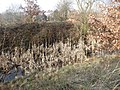 Barnsley Canal bulrushes - geograph.org.uk - 2265441.jpg