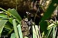 Basilic Brun (Basiliscus vittatus).jpg
