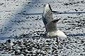 Bassin des Morts gelé, 2012-02-11, mouette rieuse 05.jpg