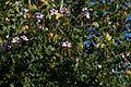 Bauhinia (Phanera) variegata CF9A2793.jpg