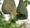 Baya Weaver (Ploceus philippinus)- Male making nest W IMG 0657.jpg