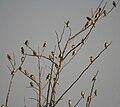 Baya Weaver (Ploceus philippinus) W2 IMG 4886.jpg