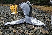 Découverte de baleine dans BALEINE 220px-Beached_whale