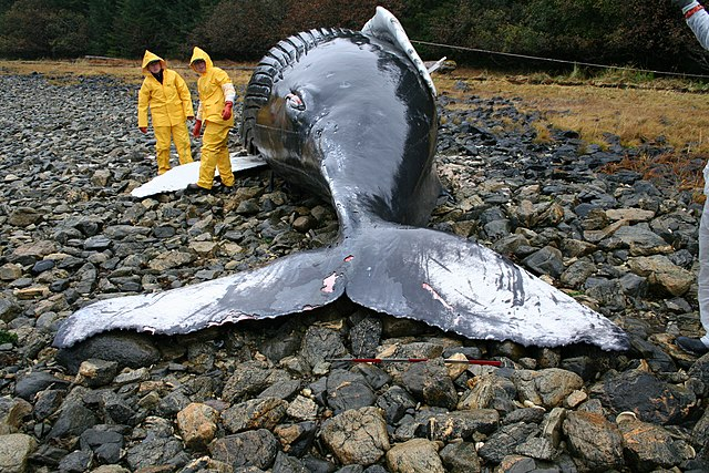 photo of a beached whale, two people examining it showing the scale