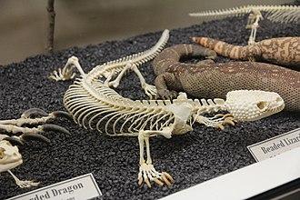 Mexican beaded lizard - Beaded lizard skeleton (Museum of Osteology)