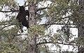 Bear 1 tree 154.jpg