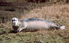 Bearded Seal (Erignathus barbatus), Mid Yell - geograph.org.uk - 1121866.jpg