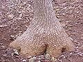 Beaucarnea pliabilis6.jpg