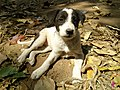 Beautiful indian puppies.jpg