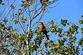 Bee-eaters, Selous Game Reserve (1) (28753105910).jpg