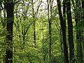 Beech-Maple Forest in Spring - Flickr - treegrow (1).jpg