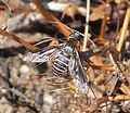 Beefly. Probably Heteralonia rivularis - Flickr - gailhampshire.jpg