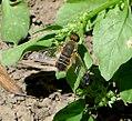 Beefly (32052151655).jpg