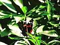 Belle papillon(jijel).jpg