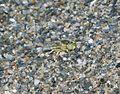 Bembix olivacea. Crabronidae - Flickr - gailhampshire.jpg